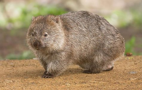 Mammal Of The Month: Wombats