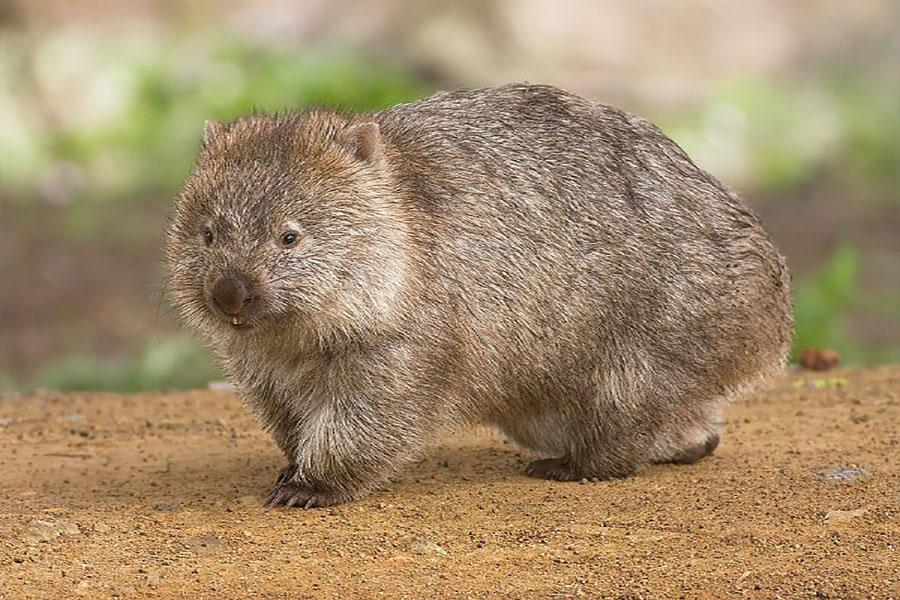 The Wombat is more than just a cuddly animal.