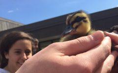 Make Way for Digital Imaging Ducklings