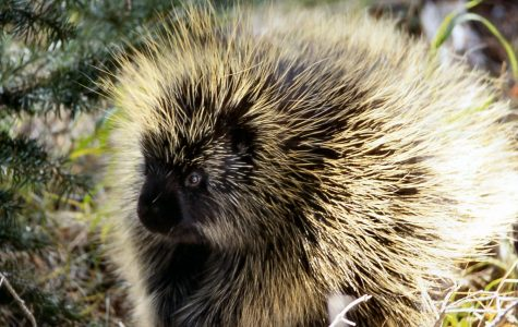 Mammal of the Month: Porcupine