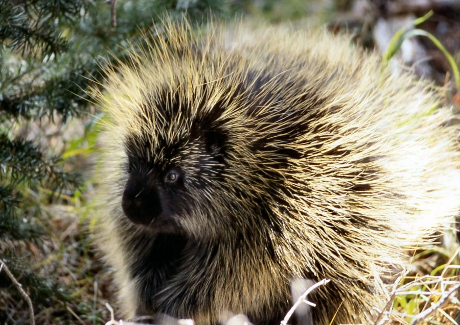 Mammal+of+the+Month%3A+Porcupine