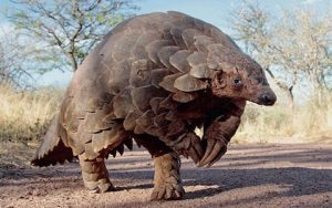 A pangolin walks around, looking like a dinosaur.
