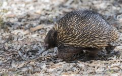 Mammal of the Month: The Echidna