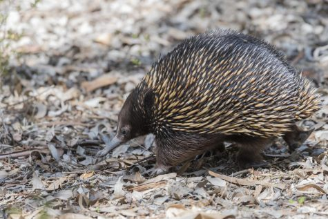 The glorious echidna shows off its fantastic beak