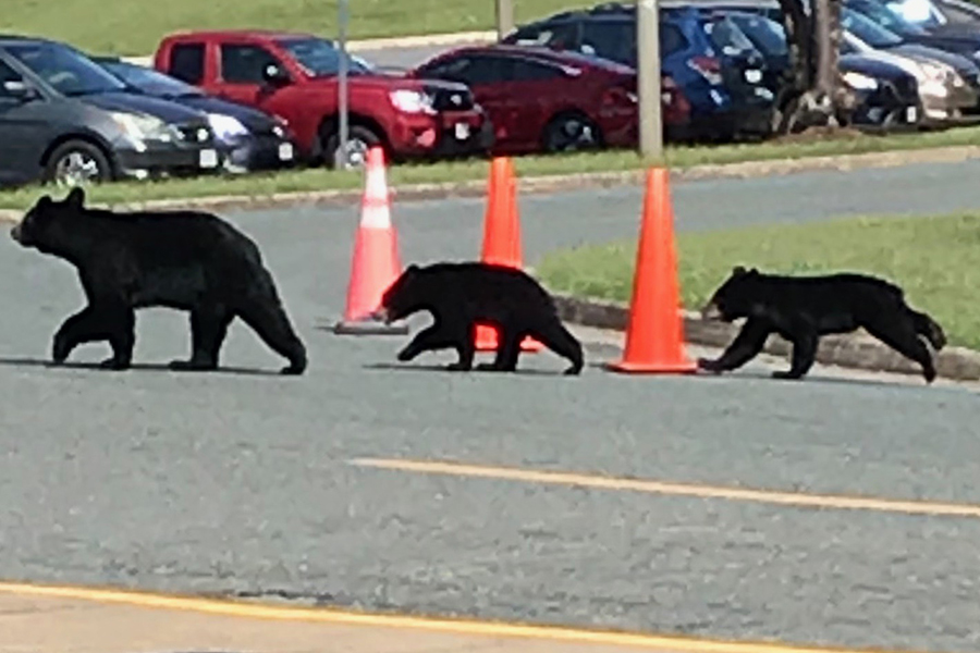 Bears Cause a Scare