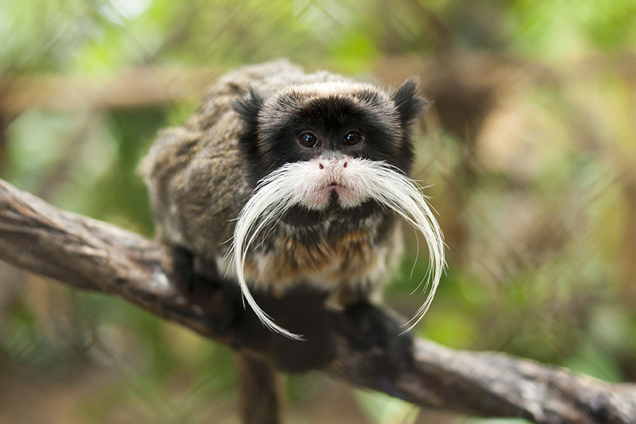 An Emperor Tamarin shows off his sweet mustache