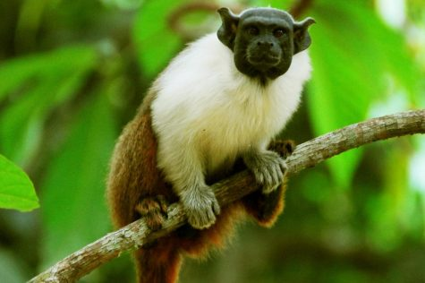 The International Union for the Conservation of Nature Red List of Threatened Species (IUCN) classified this species as critically endangered in 2015, and this classification remains today.