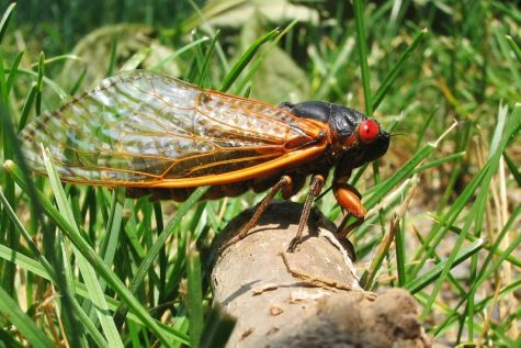 Credit: By Pmjacoby - Own work, CC BY-SA 3.0, https://commons.wikimedia.org/w/index.php?curid=25556567   The cicadas will first emerge in southern states towards the final days of March. This means that there's a good chance that you'll see your fair share of cicadas this spring.