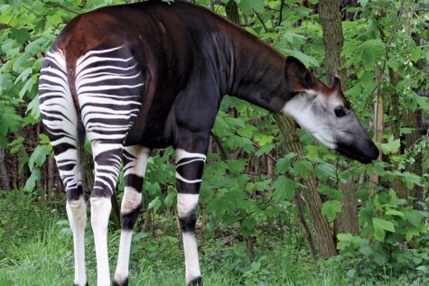 The okapi is nicknamed the African unicorn.  Credit: Daniel Jolivet - https://www.flickr.com/photos/sybarite48/7973333500/, CC BY 2.0, https://commons.wikimedia.org/w/index.php?curid=65399174